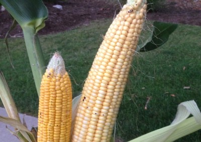 CanaMaize VS Tall Corn